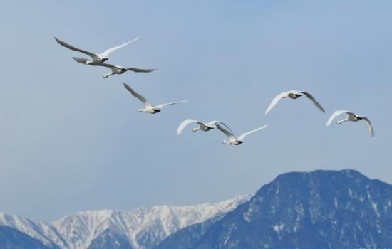 ごほーでん遊水地の白鳥の写真